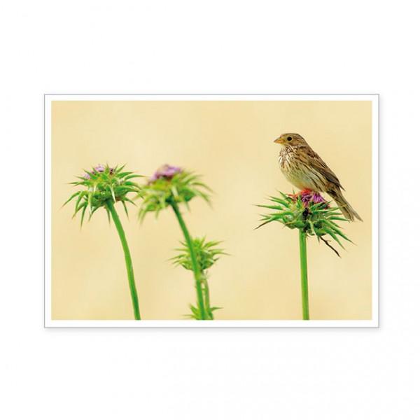 """Postkarte """" Maisflagge (Miliaria calandra) """""""