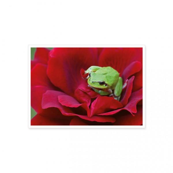 "Postkarte ""Laubfrosch auf roter Rose"""