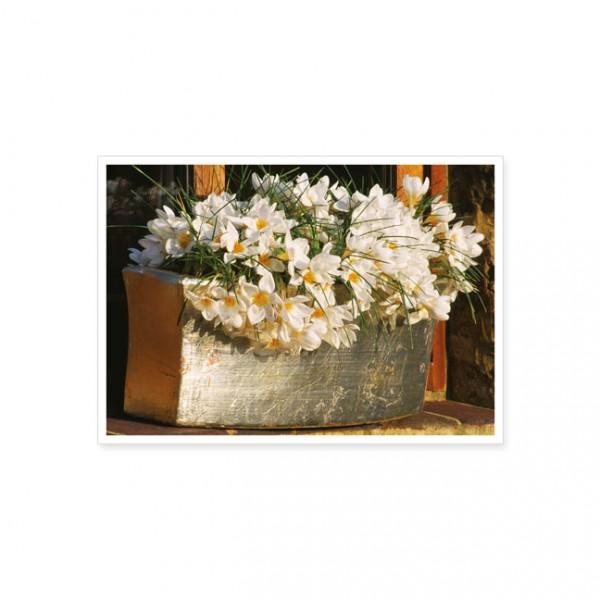"Postkarte ""Krokusse im Blumenkasten"""