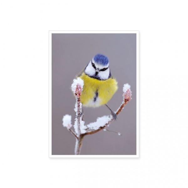 """Postkarte """"Blaumeise (Parus caeruleus) """""""