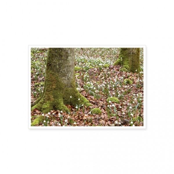 """Postkarte """"Märzbecherfeld im Wald"""""""