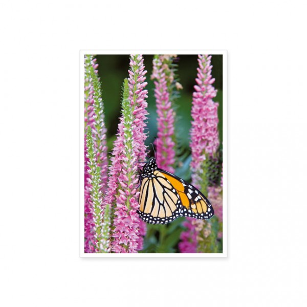 "Postkarte ""Der Monarchfalter"""