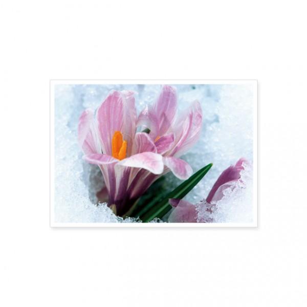 "Postkarte ""Rosa Krokusse im Schnee"""