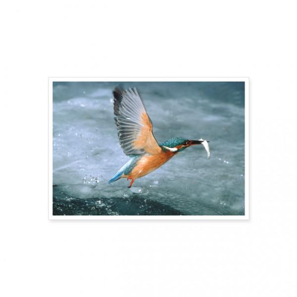 """Postkarte """"Eisvogel beim Auftauchen aus dem Eisloch"""""""