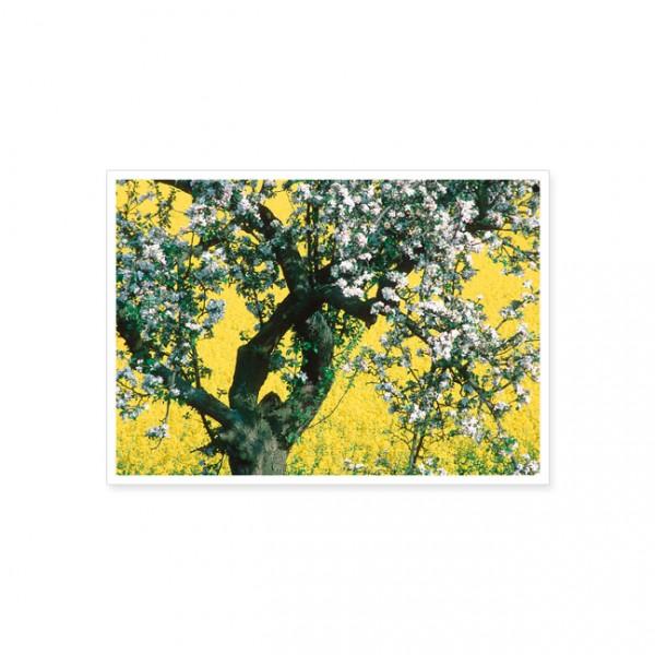 "Postkarte ""Apfelbaum im Raps"""