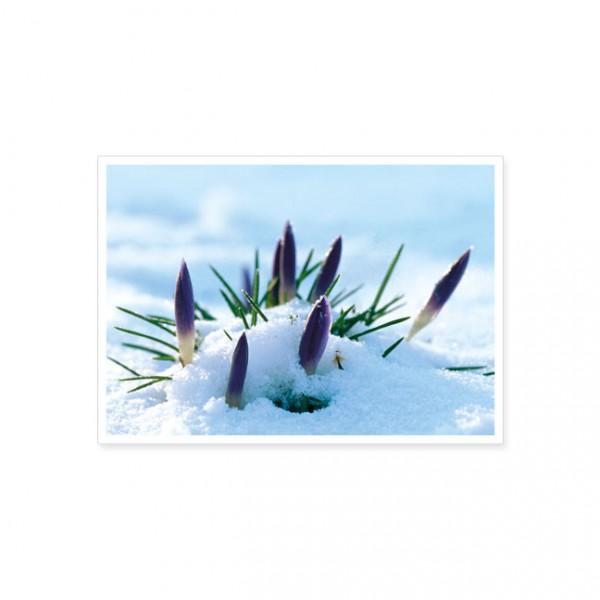 "Postkarte ""Krokusse im Schnee"""