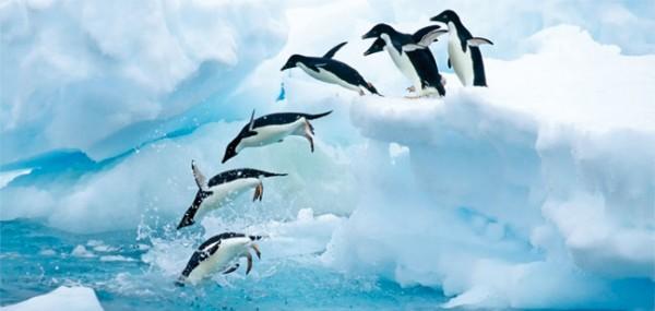 "XXL-Postkarte ""Adeliepinguine in der Antarktika"""
