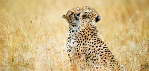 "XXL-Postkarte ""Geparden"""