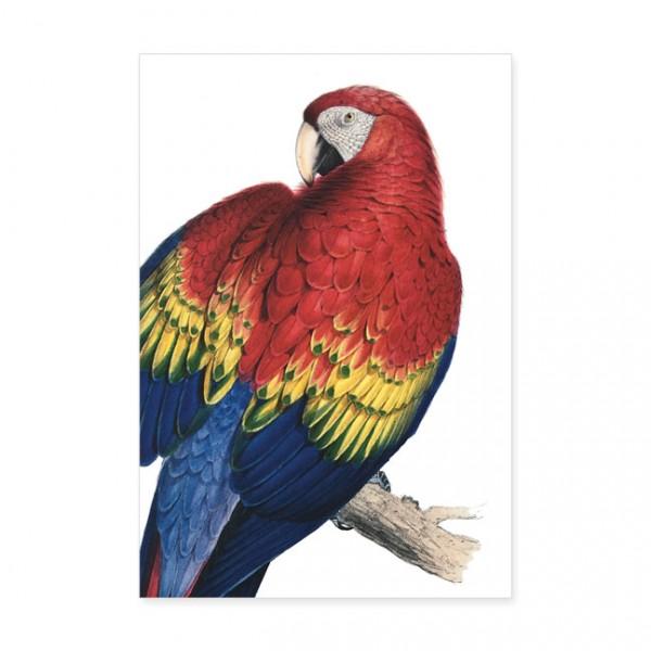 """Postkarten Large """"Gelbflügelara aus dem Papageienbuch von Edward Lear"""""""