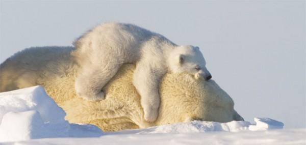 "XXL-Postkarte ""Eisbären"""