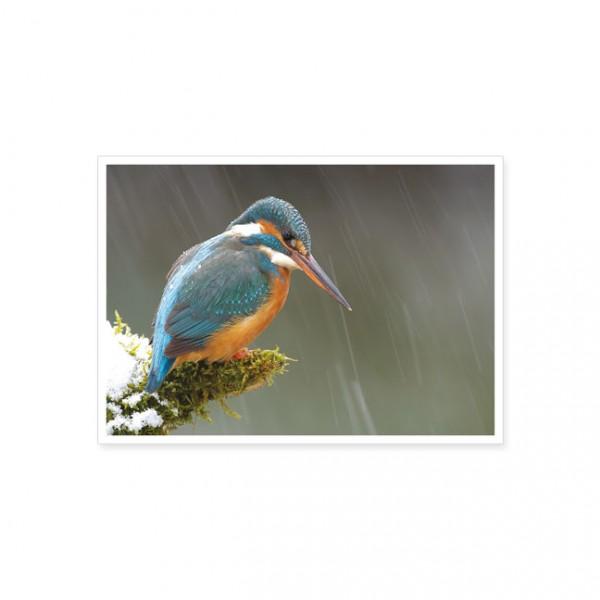 """Postkarte """"Der Eisvogel hält Ausschau nach Fischen"""""""