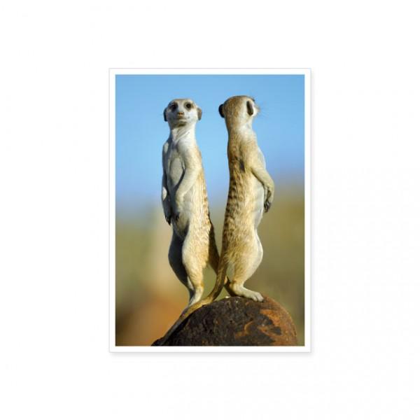 """Postkarte """"Erdmännchen (Suricata suricatta) - Rücken an Rücken """""""