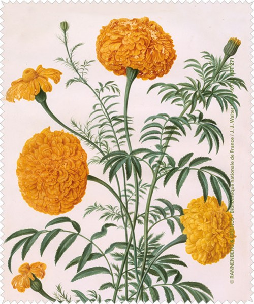 Brillenputztuch 'Studentenblume aus dem Nassau Florilegium'