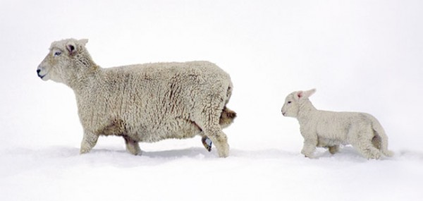 """XXL-Postkarte """"Schafe im Schnee"""""""