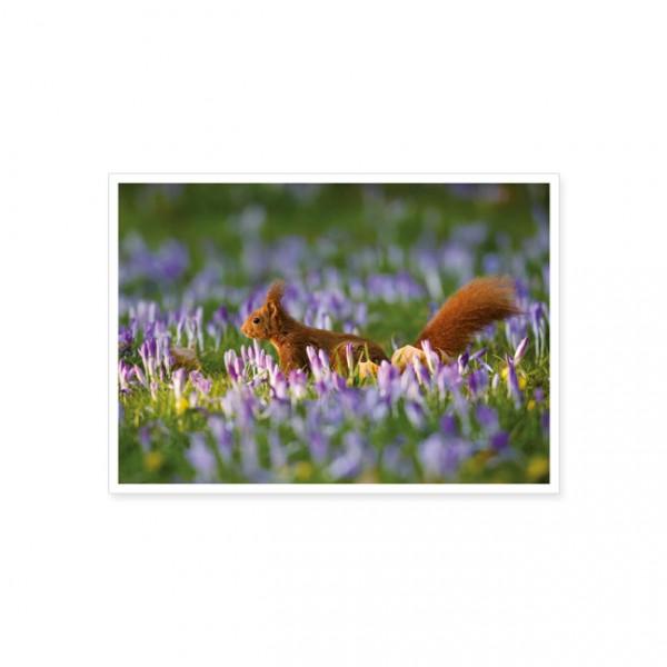 """Postkarte """"Eichhörnchen auf einer Krokuswiese"""""""