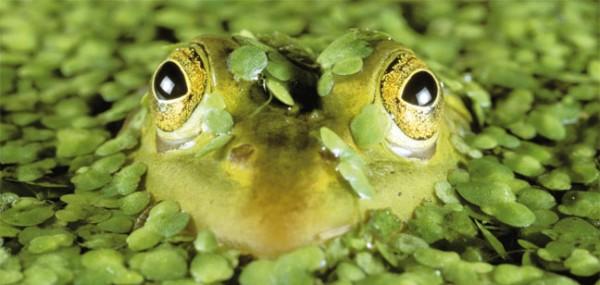 """XXL-Postkarte """"Frosch"""""""