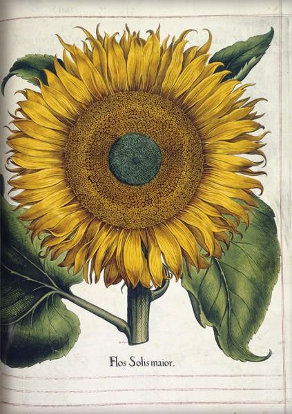 Kladden A5 'Sonnenblume aus dem Garten von Eichstätt'