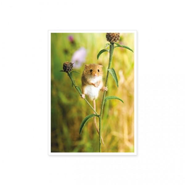 "Postkarte ""Erntemaus (Micromys minutus)"""