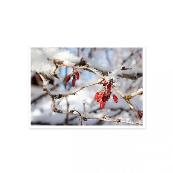 """Postkarte """"Berberitzenstrauch (Berberis vulgaris) mit gefrorenen Früchten"""""""
