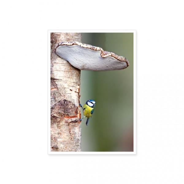 """Postkarte """"Blaumeise (Parus caeruleus) an der Weißbirke"""""""
