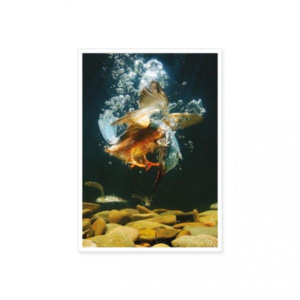 """Postkarte """"Eisvogel beim Tauchen"""""""