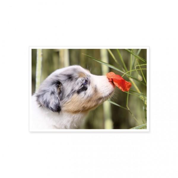 """Postkarte """"Schnuppender Border Collie Welpe"""""""