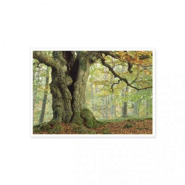 "Postkarte ""Alte Buche grün"""