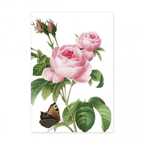 "Postkarten Large ""Rosa centifolia"""