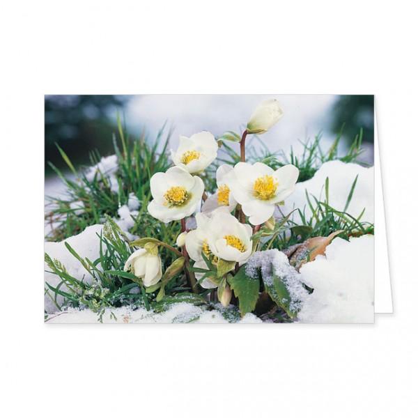 "Doppelkarte ""Christrose im Schnee"""