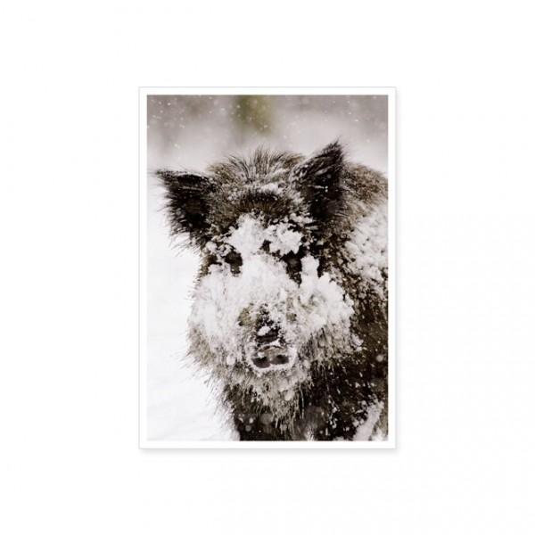 "Postkarte ""Wildschwein (Sus Scrofa)"""