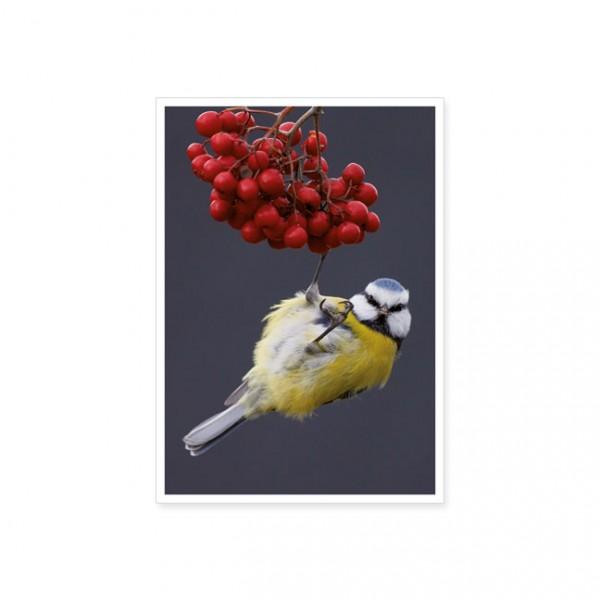 """Postkarte """"Blaumeise an Vogelbeeren"""""""