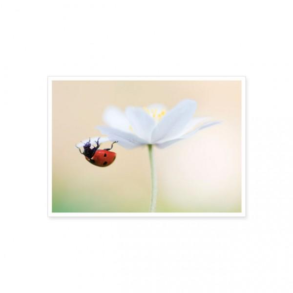 """Postkarte """"Marienkäfer auf einer Anemonenblüte"""""""
