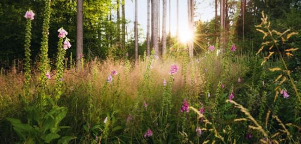 """XXL-Postkarte """"Waldlichtung mit Fingerhut"""""""