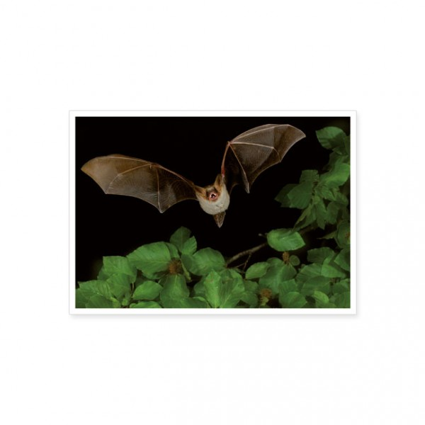 "Postkarte ""Großes Mausohr (Myotis myotis)"""
