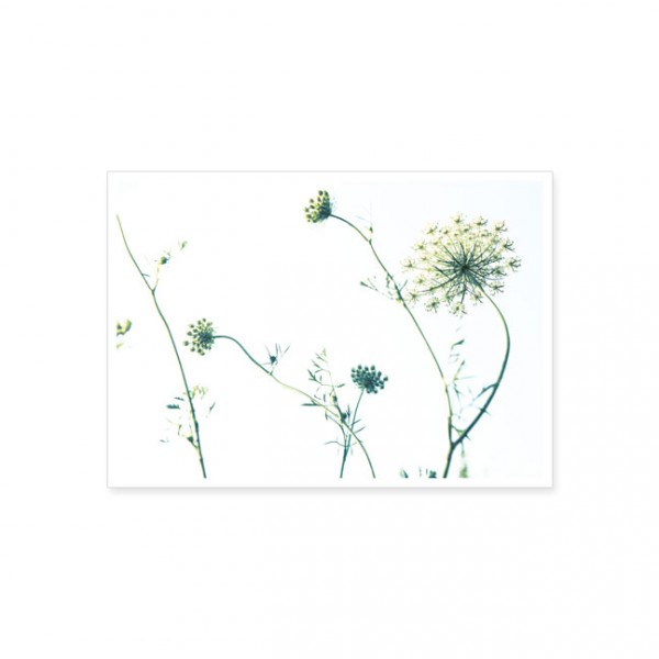 "Postkarte ""Wilde Möhre"""